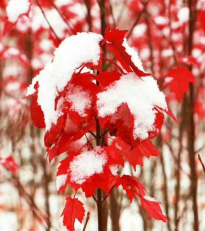 美国红枫,红冠红枫,美国红枫价格