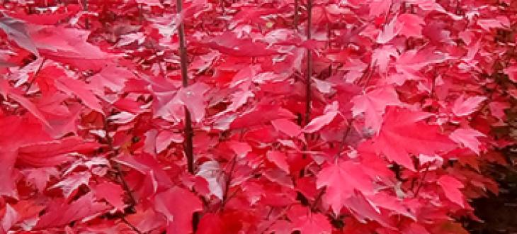 红冠红枫秋天变色特性